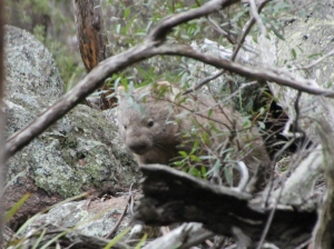 A wild wombat on the author's property