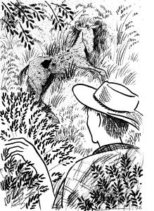 Illustration from Brumbies in the Mountains by Rowena Evans