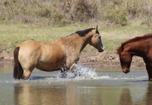 Horses in dam
